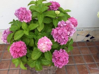 当院の紫陽花