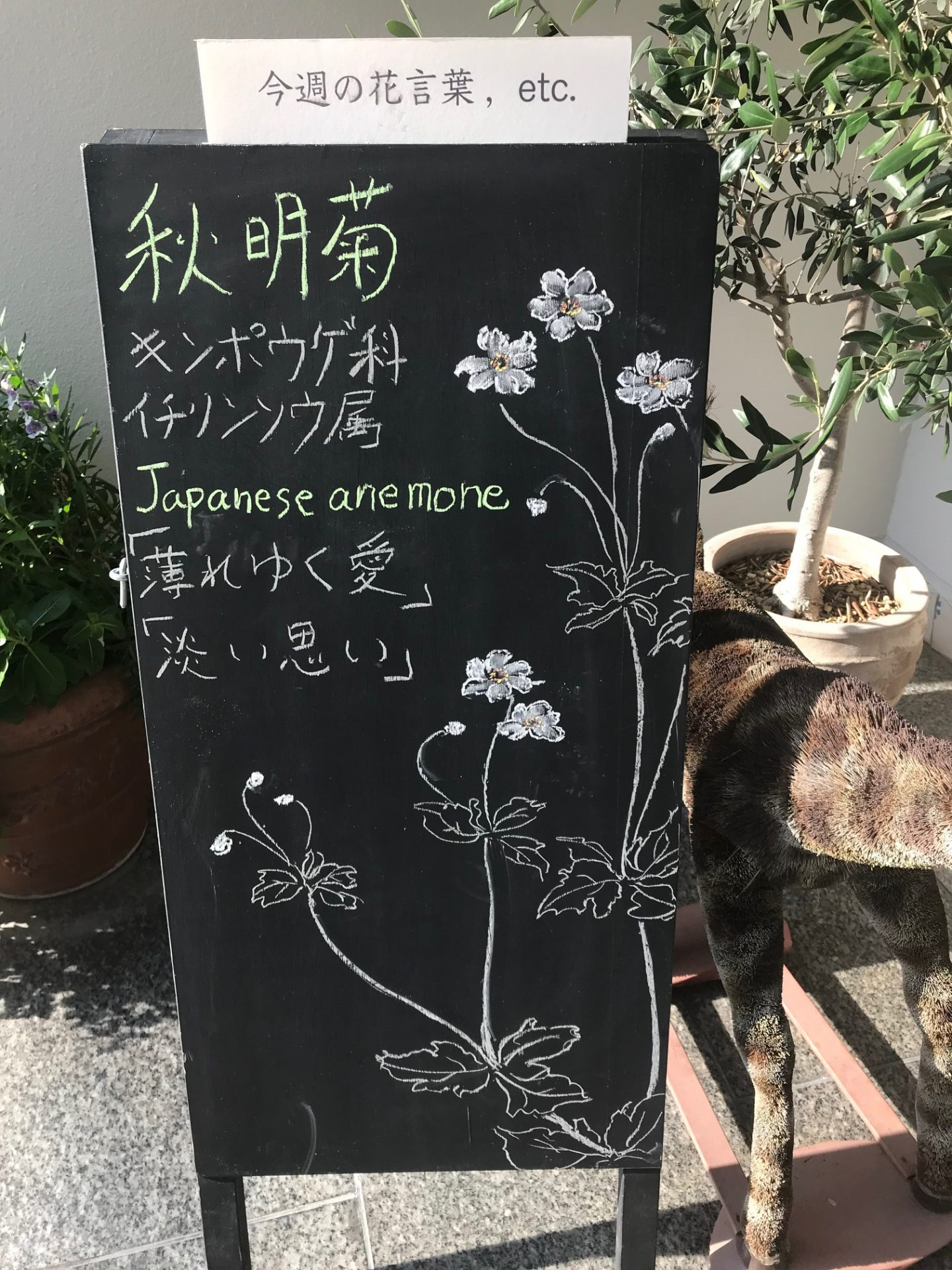 ⁑⁑Japanese anemone⁑⁑