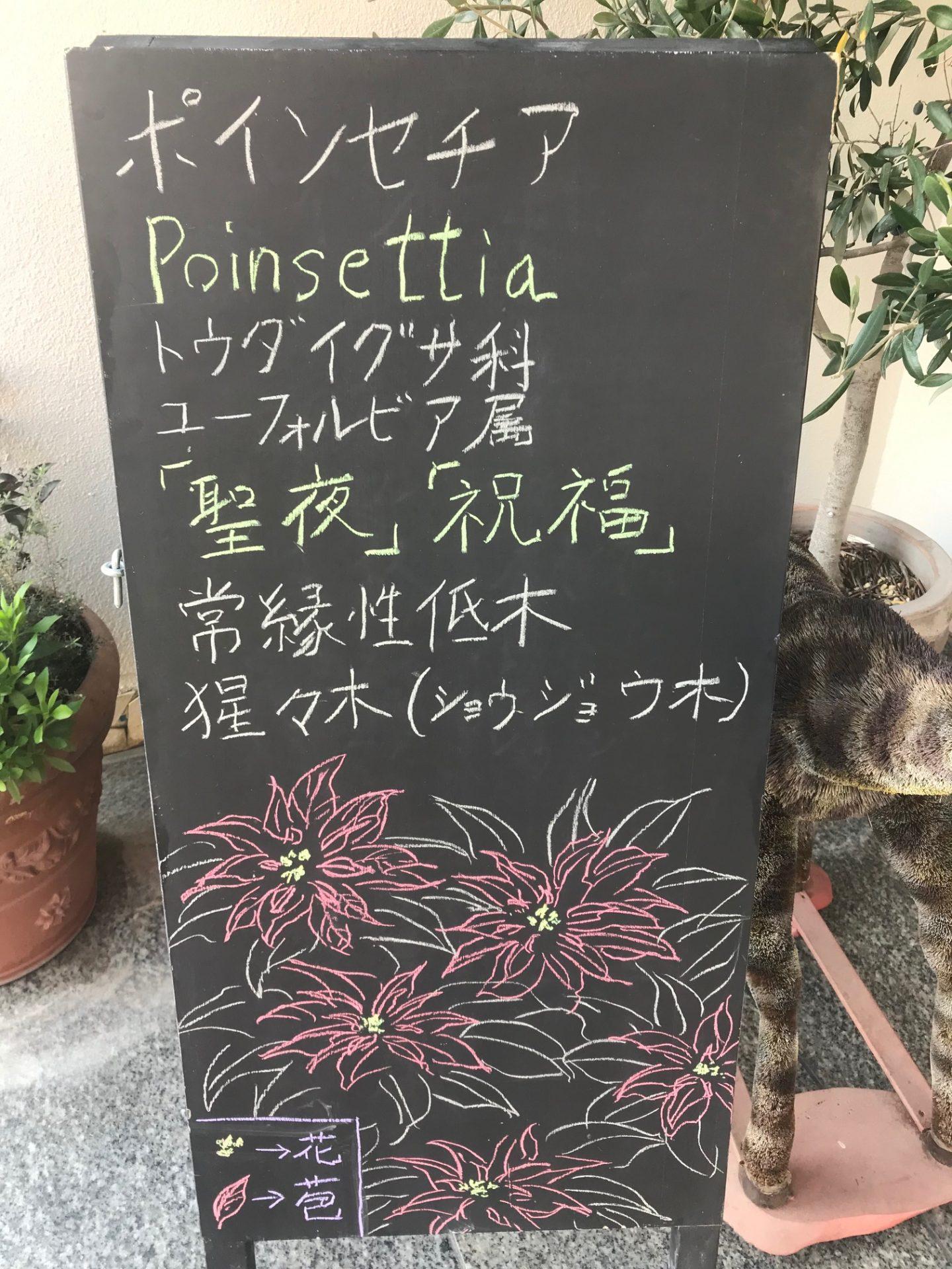 ポインセチア 〜「聖夜」✴︎「祝福」〜